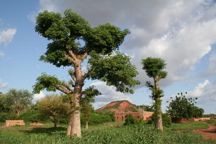 Baobab (Affenbrotbaum) in Kenia