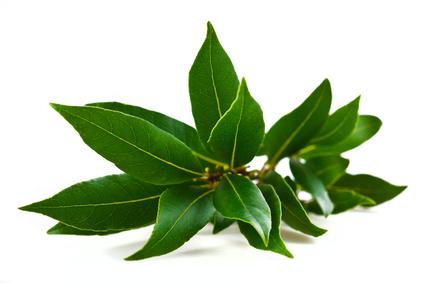 Kampferbäume gehören zur Familie der Lorbeerpflanzen