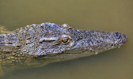 Krokodil im Athi River