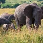 Afrikanischer Kuh-Elefant mit Kindern in Kenia