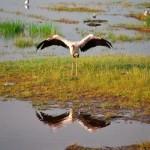 Storch in Kenia am Baringo See