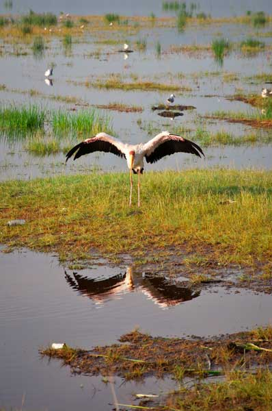 Storch in Kenia am Baringo See