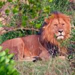 König Löwe in Kenia