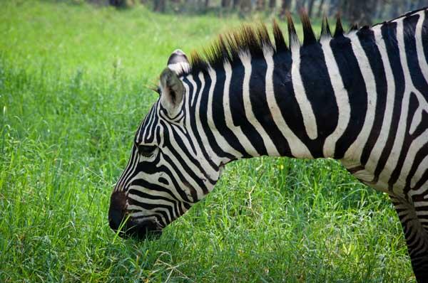 Zebra im Amboseli Nationalpark, Kenia