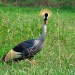 Verrückt schauender Kranich in Kenia