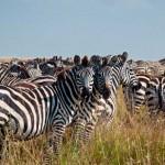 Herde von Zebras während der Großen Wanderung in Kenia