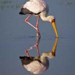 Storch steht im Wasser in Kenia