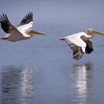 Pelikane, die in der Nahaufnahme in Kenia fliegen