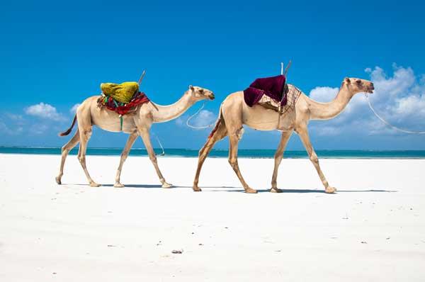 Kenia Safari mit Kamelen