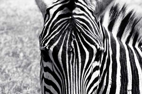 Zebra in Kenia