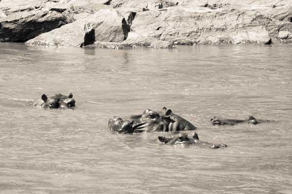 Flusspferde im Fluss