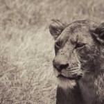 Weblicher Löwe in Kenia der Beutetiere beobachtet