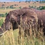 Foto von Elefant in Kenia