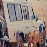Löwe in der Nähe von Touristen in Kenia