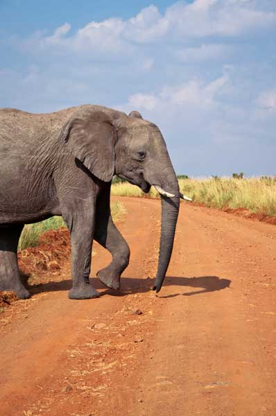 Elefant in Kenia
