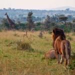 Löwe beobachtet Giraffe in Kenia