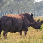 Nashorn im Aberdare Nationalpark