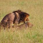 Löwen in der Wildnis. Kenia